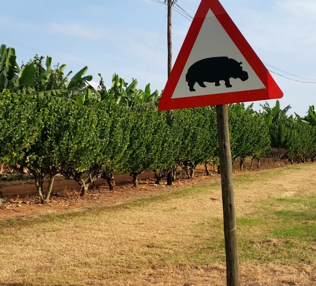 Beware of hippos roadsign