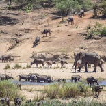 Scarce water sources cauaing stress in animals in the Kruger National Park near Nabana Lodge