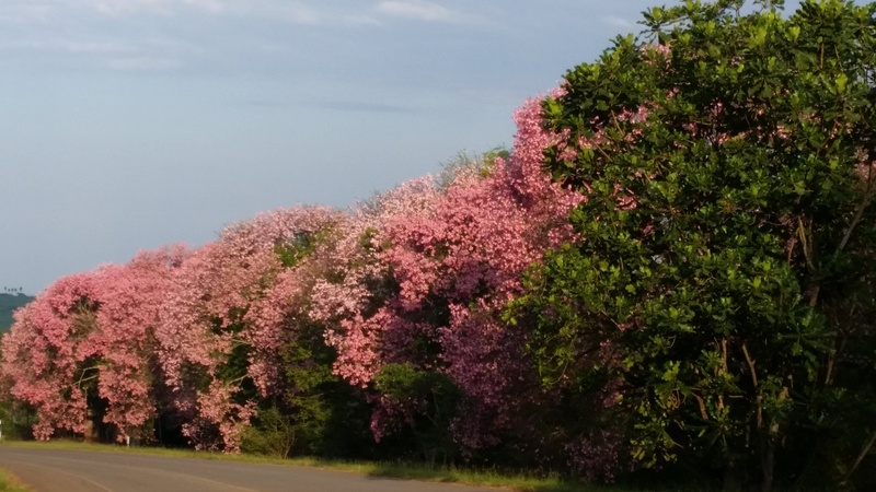 Kapok trees in flower along the roads in Mpumalanga