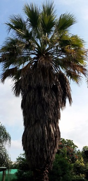 Bat and palm swift haven - Washingtonia robusta (Mexican Fan Palm) at Nabana Lodge