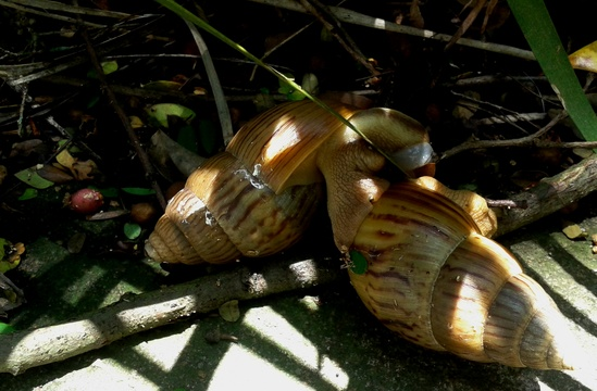 Giant African land snail Achatina fulica