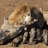 Hyena with cub in Kruger National Park near Nabana Lodge