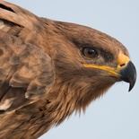 Close up image by Lior Kislev of the Steppe Eagle, a visitor in December 2015 at Nabana Lodge, showing the prominent yellow gape extending to beyond the eye, distiguishing it from the Tawny Eagle