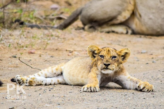 Gorged lion cub in Kruger National Park near Nabana Lodge