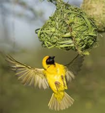 Southern masked weaver constructing nests, image ibc.lynxeds