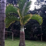 Hyophorbe lagenicaulis or Bottle Palm on the critically endangered list in the wild