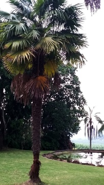 Chinese Fan Palm (Livistona Chinensis) at Nabana Lodge
