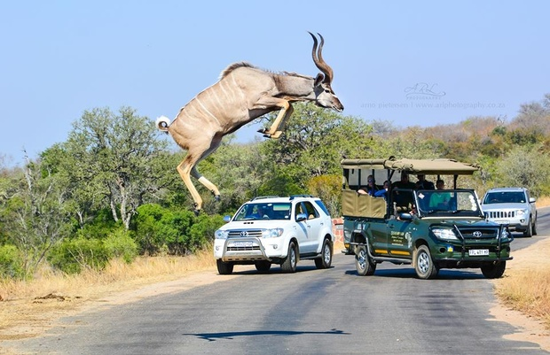 Arno Pietersen's amazing once in a lifetime shot of a kudu bull jumping accross the road in Kruger Park