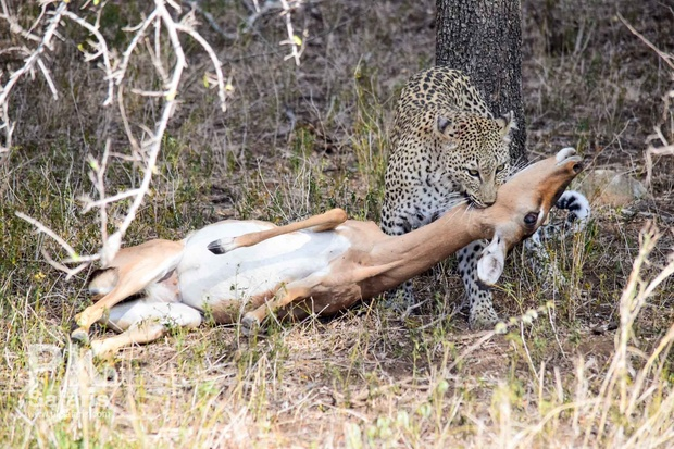 Leopard kill in Kruger National Park near Nabana Lodge