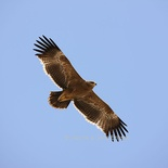 Image by Hanne & Jens Erikson of Steppe Eagle in flight.