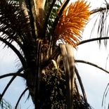 Flower and seed clusters of Syagrus romanzoffiana (Queen Palm) at Nabana Lodge
