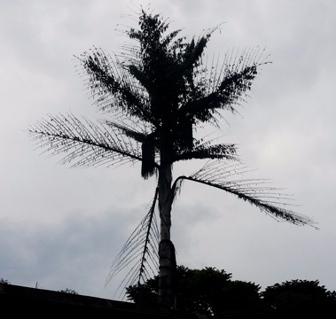 Balding fish tail palm where weavers harvest nesting material