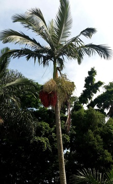 Spectacular clusters of flowers and fruit of Veitchia merililli (Christmas Palm tree) at Nabana Lodge