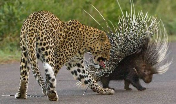 Leposrd encounter with porcupine