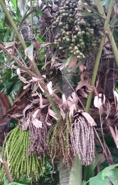 Fruit and flowers of Caryota Mitis (Fishtail Palm) at Nabana Lodge