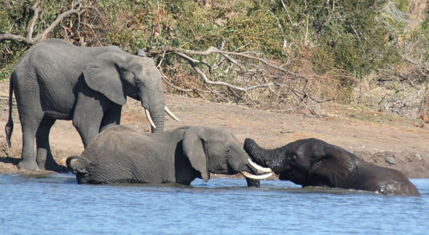 Elephants romping at a water hole in the Kruger National Park near Nabana Lodge