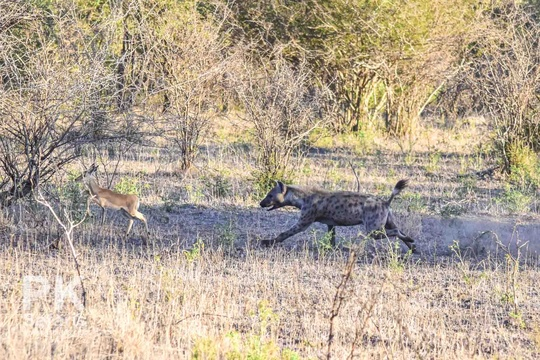 Hyena hunting inpala in broad daylight in Kruger National Park near Nabana Lodge