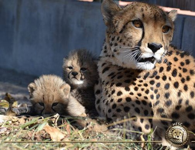 Cheetah cubs born at HESC close to Nabana Lodge