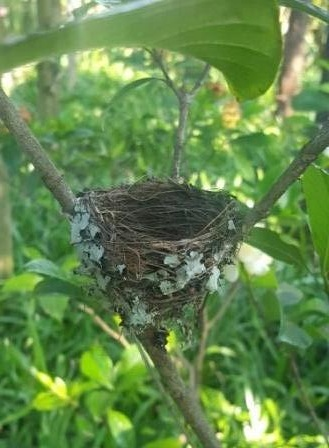 Empty nest of African paradise fly catcher