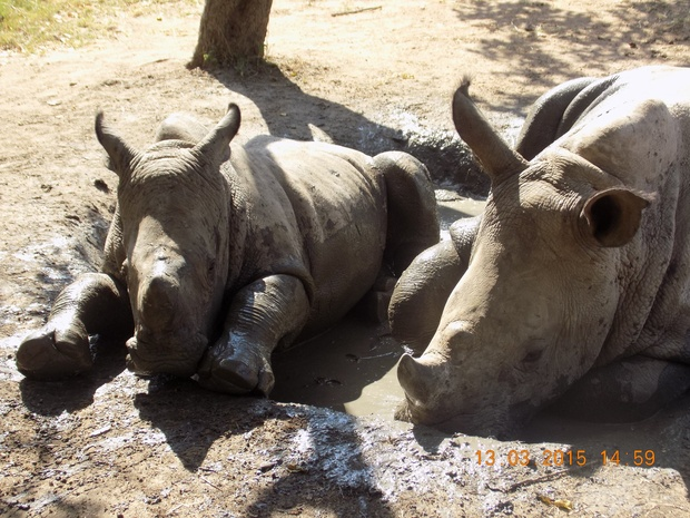 Mr G and Matimba - orphaned rhino babies at HESC