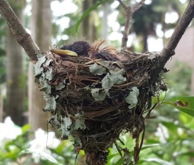 Paradise flycatcher chicks in the nest
